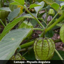 Camapú - Physalis Angulata (Folha)