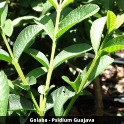 Goiaba (folhas) - Psidium Guajava