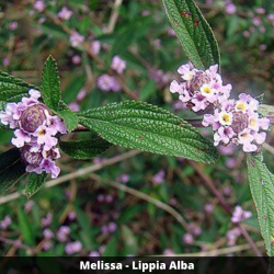 Melissa - Lippia Alba (Folha)