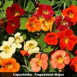 Capuchinha - Tropaeolum Majus (Folha)