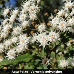 Assa-Peixe - Vernonia polyanthes (Folha)