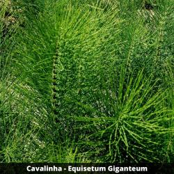 Cavalinha - Equisetum Giganteum (Folha)