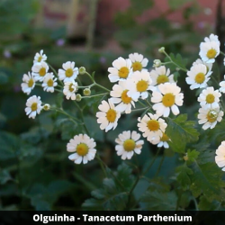 Olguinha  - Tanacetum Parthenium (Folha)