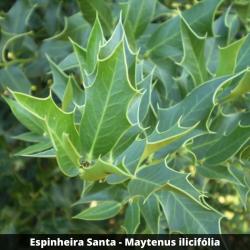 Espinheira Santa - Maytenus ilicifólia (Folha)
