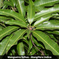 Mangueira folhas - Mangifera indica (Folha)