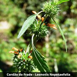 Cordão do Frade -  Leonotis Nepetaefolia (Folha)