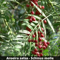 Aroeira salsa - Schinus molle (Folha)