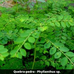 Quebra-pedra - Phyllanthus sp. (Folha)