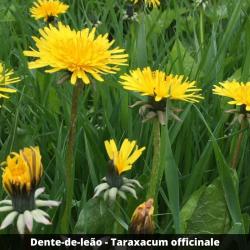Dente-de-leão - Taraxacum officinale (folhas)