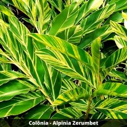 Colônia - Alpinia Zerumbet (Folha)