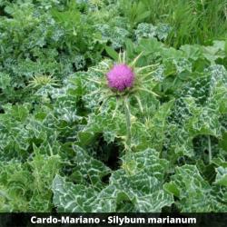 Cardo-Mariano (folhas) -  Silybum marianum