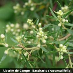 Alecrim do Campo - Baccharis dracunculifolia (Folha)