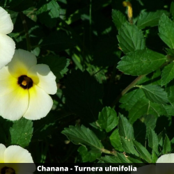 Chanana - Turnera subulata (Folha)