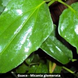 Guaco - Micania glomerata (Folha)