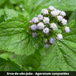 Erva-de-são-joão /Mentrasto -Ageratum conyzoides (Folha)