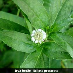 Erva-botão - Eclipta prostrata (Folha)