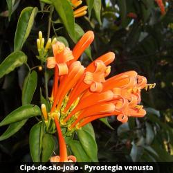 Cipó-de-são-joão -Pyrostegia venusta (Flor)