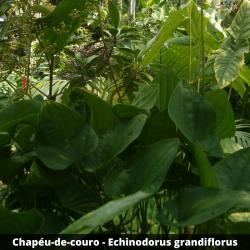 Chapéu-de-couro - Echinodorus grandiflorus (Folha)