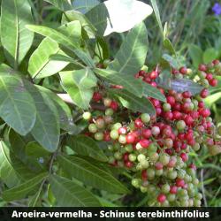 Aroeira-vermelha -Schinus terebinthifolius (folhas)