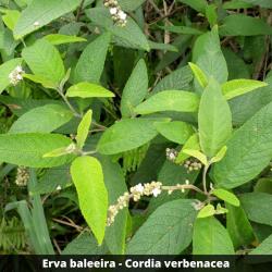 Erva baleeira - Cordia verbenacea (Folha)