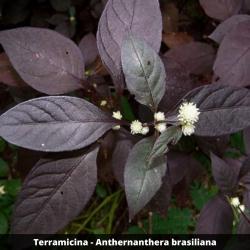 Terramicina - Anthernanthera brasiliana (Folha)