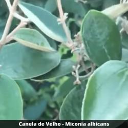 Canela de velho - Miconia albicans (Folha)